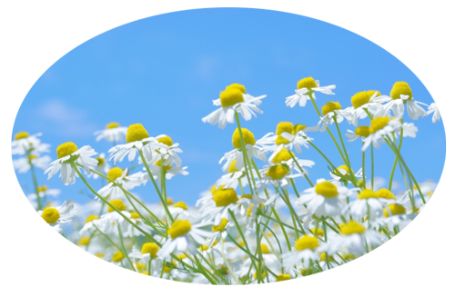 カミツレ(カモミール)の花